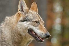 Czechoslovakian wolfdog Royalty Free Stock Images