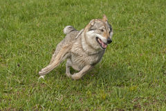 Czechoslovakian wolfdog Stock Photography