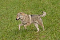 Czechoslovakian wolfdog Royalty Free Stock Photo