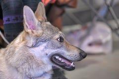 Czechoslovakian Wolfdog Stock Images