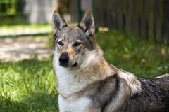 Czechoslovakian Wolfdog Portrait royalty free stock photo