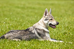 Czechoslovakian Wolfdog Puppy Stock Photo