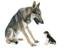 Czechoslovakian Wolfdog and puppy Stock Photography