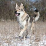 Czechoslovakian wolfdog running in winter Stock Photos