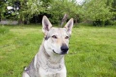 Czechoslovakian Wolfdog. In the spring garden Stock Photo