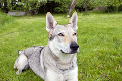 Czechoslovakian Wolfdog. In the spring garden Royalty Free Stock Photography