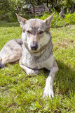 Czechoslovakian Wolfdog. In the spring garden Royalty Free Stock Image