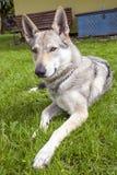 Czechoslovakian Wolfdog. In the spring garden Royalty Free Stock Photo