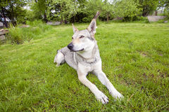 Czechoslovakian Wolfdog. In the spring garden Royalty Free Stock Images