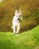 Czechoslovakian wolfdog wiosny działająca natura Zdjęcia Royalty Free