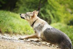Czechoslovakian wolfdoghund royaltyfri foto