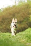 Czechoslovakian wolfdoghund royaltyfria bilder