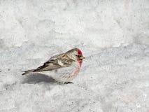 Czeczotki Carduelis flammea kurczątko z Czerwonej piersi Męskim obsiadaniem w śniegu w wiośnie Z kopii przestrzenią zdjęcie royalty free