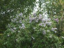 Czekań lilos kwitną blisko drogowy letni dzień obraz stock
