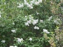 Czekań lilos kwitną blisko drogowy letni dzień obrazy stock