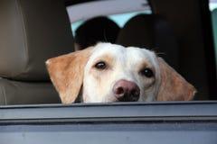 Czekać psa Zdjęcie Royalty Free