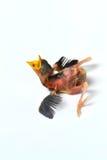 Czekania nowonarodzony ptasi jedzenie Fotografia Stock