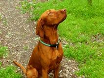czekolada - br?zu koloru obsiadania psa portret na lasowej ?cie?ce fotografia stock