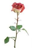 czekoladowa czerwona róża Obrazy Royalty Free