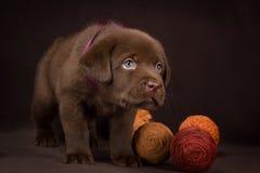 Czekoladowa labradora szczeniaka pozycja na brązie fotografia stock