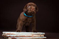 Czekoladowa labradora szczeniaka pozycja na maluję fotografia royalty free