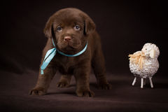 Czekoladowa labradora szczeniaka pozycja obok bielu obrazy stock