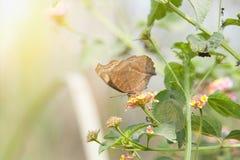 Czekoladowego Pansy Junonia Motyli iphita Obraz Stock