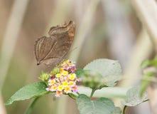 Czekoladowego Pansy Junonia Motyli iphita Fotografia Royalty Free