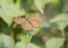 Czekoladowego Pansy Junonia Motyli iphita Obrazy Stock
