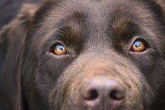 Czekoladowi kobiety Labrador Retriever oczy Koncentrujący obraz royalty free