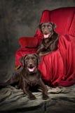 czekoladowi labs dwa potomstwa Obrazy Royalty Free