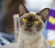 Czekoladowy Birmańskiego kota portret w górę obrazy royalty free