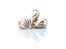 Czekoladowy cukierek w postaci morza łuska na bielu stole z odbiciem odizolowywającym Obrazy Stock