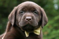 Czekoladowy Lab szczeniak Jest ubranym łęku krawat Obrazy Stock