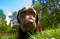 czekoladowy labrador Fotografia Royalty Free