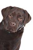 czekoladowy labrador Zdjęcie Stock
