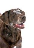 Czekoladowy Labrador Retriever Zdjęcia Stock