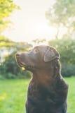 Czekoladowy labrador w ogródzie zdjęcie royalty free