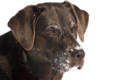 Czekoladowy labradora aporter Zdjęcie Stock