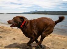 Czekoladowy labradora aporter fotografia royalty free