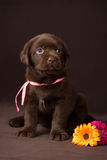 Czekoladowy labradora szczeniaka obsiadanie na brązie obrazy stock