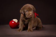 Czekoladowy labradora szczeniaka obsiadanie na brązie fotografia royalty free
