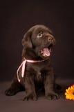 Czekoladowy labradora szczeniaka obsiadanie na brązie obraz royalty free