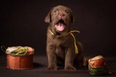 Czekoladowy labradora szczeniaka obsiadanie na brązie zdjęcia stock