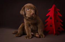 Czekoladowy labradora szczeniaka obsiadanie na brązie fotografia stock