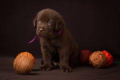 Czekoladowy labradora szczeniaka obsiadanie na brązie obrazy royalty free