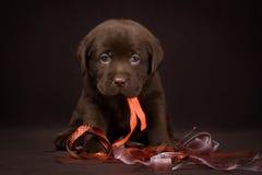 Czekoladowy labradora szczeniaka obsiadanie na brązie obraz stock