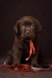 Czekoladowy labradora szczeniaka obsiadanie na brown tle zdjęcie stock