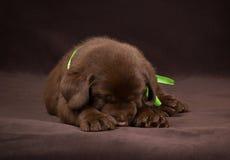 Czekoladowy labradora szczeniaka sleepingon brąz zdjęcia royalty free