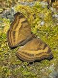 Czekoladowy Pansy motyl przy odpoczynkiem na mech Obrazy Royalty Free